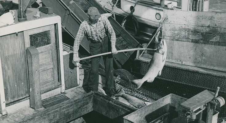 Man unloads a ship's hold filled with spring and  coho salmon at the Gulf of Georgia Cannery. GOGCS Archives, CFC-3-5-3