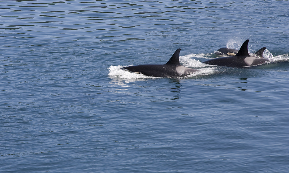 Pod of orca's off Galiano Island